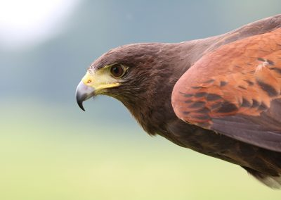 harris-hawk-hawk-harris-bird-162354