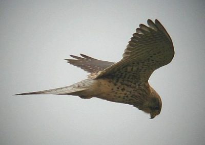 kestrel_animalmagic_ie_ea8b3698fd