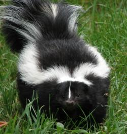 skunk_animalmagic_ie_a0b2cebcc0