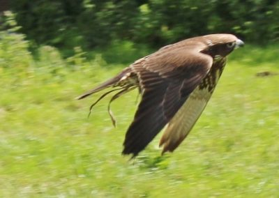 With our Hawk Walks & Falconry Experiences